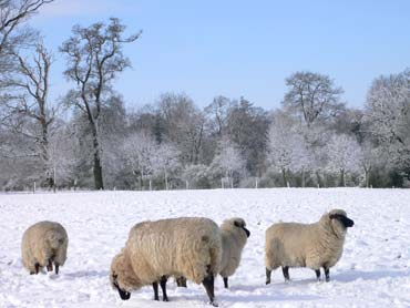 Sheep in North Oxfordshire
